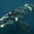 Southern Right Whale Calf Valdes by Hiroya  Minakuchi