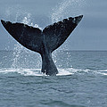 Southern Right Whale Fluke Argentina by Flip Nicklin