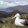 Southern Royal Albatross On Nest by Tui De Roy