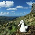 Southern Royal Albatross by Tui De Roy