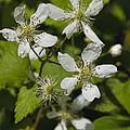 Southern Sawtooth Highbush Blackberry Blossoms - Rubus Argutus by Kathy Clark