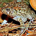 Southern Toad Bufo Terrestris by Millard H. Sharp
