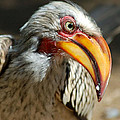 Southern Yellow-billed Hornbill - Tockus Leucomelos  by Judith Meintjes