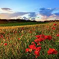Spain, Menorca, Field Of Poppy Flowers by Westend61