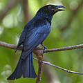 Spangled Drongo Calling Queensland by Martin Willis