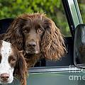 Spaniels In Car by Ardea