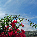 Spanish Bougainvillea by Tina M Wenger