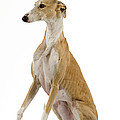 Spanish Galgo by Jean-Michel Labat