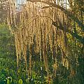 149736-spanish Moss  by Ed  Cooper Photography