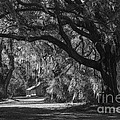 Spanish Moss And Live Oaks by David Waldrop