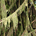 Spanish Moss In Olympic National Park