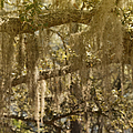 Spanish Moss On Live Oaks by Christine Till