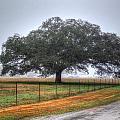 Spanish Oak IIi by Lanita Williams