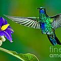 Sparkling Violetear by Anthony Mercieca