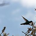 Sparkling Violetear Hummingbird by Robert Hamm