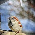 Sparrow 5   by Susan McMenamin