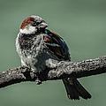 Sparrow by Charlene Gauld