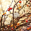 Sparrow In A Crab Apple Tree by Peggy Collins