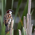 Sparrow In Reeds by Les OGorman