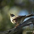 Sparrow by Jacklyn Duryea Fraizer