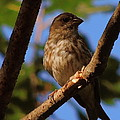 Sparrow by Mim White