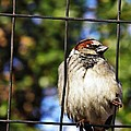Sparrow On A Wire Fence by Sarah Loft