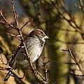 Sparrow by Rebecca Cozart