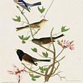Sparrows And Bunting by Natural History Museum, London/science Photo Library