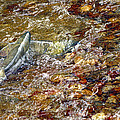 Spawning Chum by Sharon Talson
