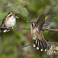 Speckled Hummingbirds by Anthony Mercieca