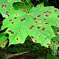 Speckled Leaves by Deborah Selib-Haig DMacq