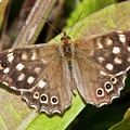 Speckled Wood Butterfly On A Leaf by Dr. John Brackenbury/science Photo Library