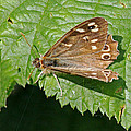 Speckled Wood Butterfly by Tony Murtagh