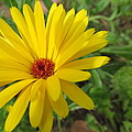 Speckless Yellow African Daisy by Tina M Wenger