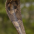 Spectacled Cobra Gujarat India by Pete Oxford