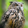 Spectacled Owl  by Alex Grichenko