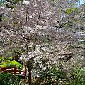 Spectacular Japanese Garden by Denise Mazzocco