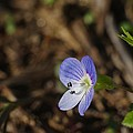 Speedwell by Billy  Griffis Jr