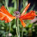 Spent Poppy by Debra Powell