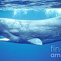 Sperm Whale by Francois Gohier