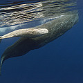 Sperm Whale Mother And Albino Baby by Flip Nicklin