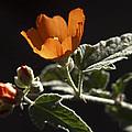 Sphaeralcea Ambigua by Joe Schofield