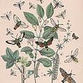 Sphingide - Thrididae - Seslidae by W Kirby