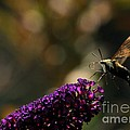 Sphinx Moth On Butterfly Bush by Kenny Glotfelty
