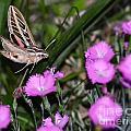 Sphinx Moth by Sarah Crawford