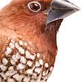 Spice Finch Lonchura Punctulata Portrait by David Kenny