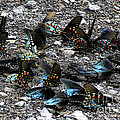 Spicebush Swallowtails Puddling by Barbara Bowen
