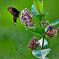 Spicebush Swallowtail  by Brian Simpson