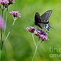 Spicebush Swallowtail Butterfly In Garden by Karen Adams