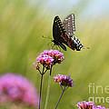 Spicebush Swallowtail Butterfly In Meadow by Karen Adams